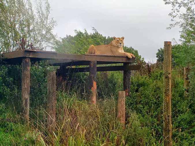 Day 32 - Lioness at South Lakes Safari Zoo